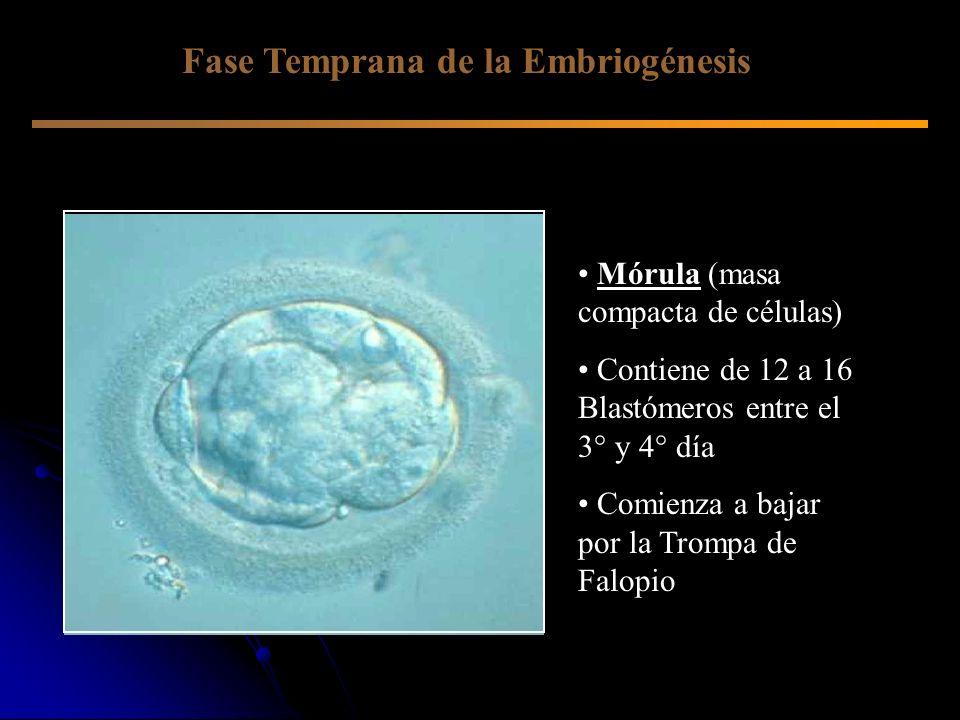 Fase Temprana de la Embriogénesis