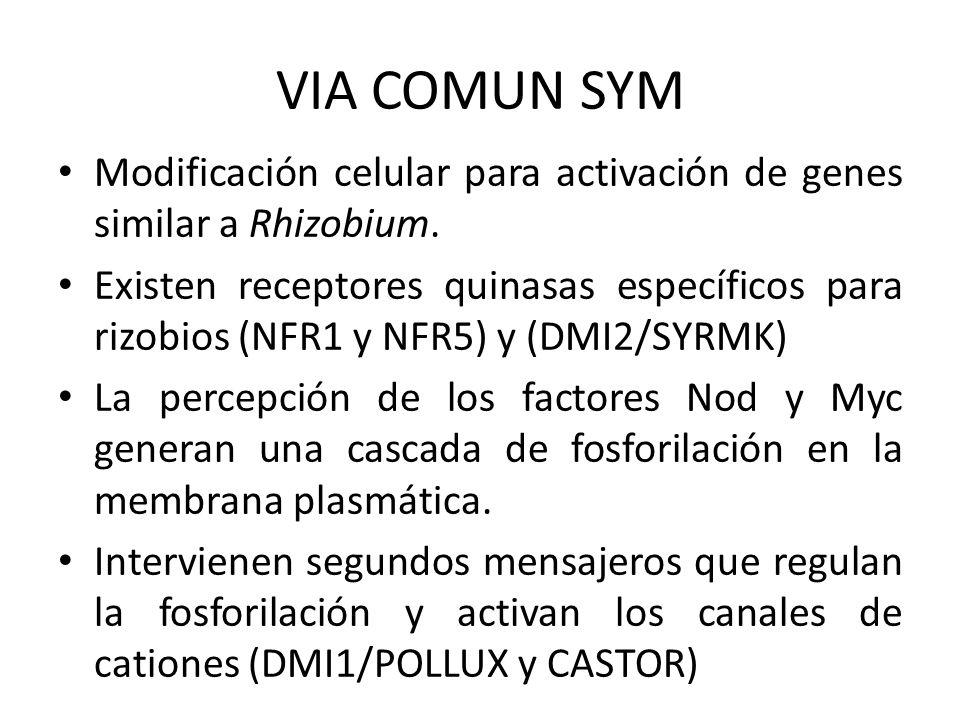 VIA COMUN SYM Modificación celular para activación de genes similar a Rhizobium.