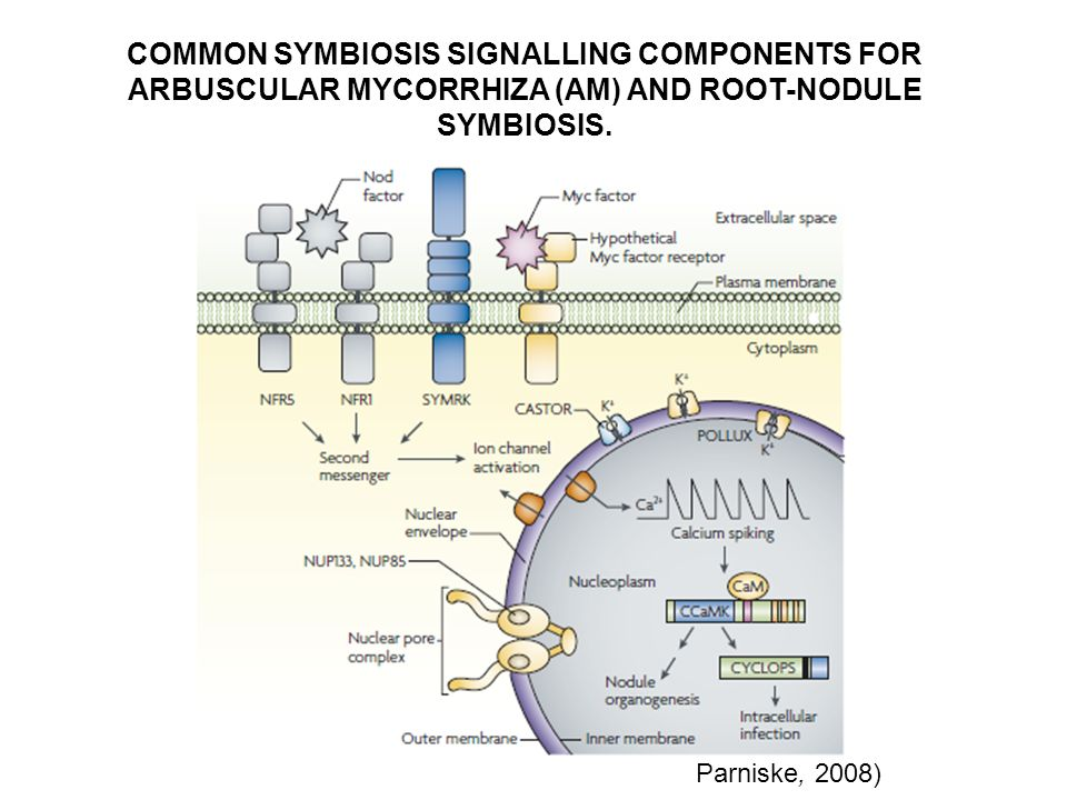 COMMON SYMBIOSIS SIGNALLING COMPONENTS FOR ARBUSCULAR MYCORRHIZA (AM) AND ROOT-NODULE SYMBIOSIS.