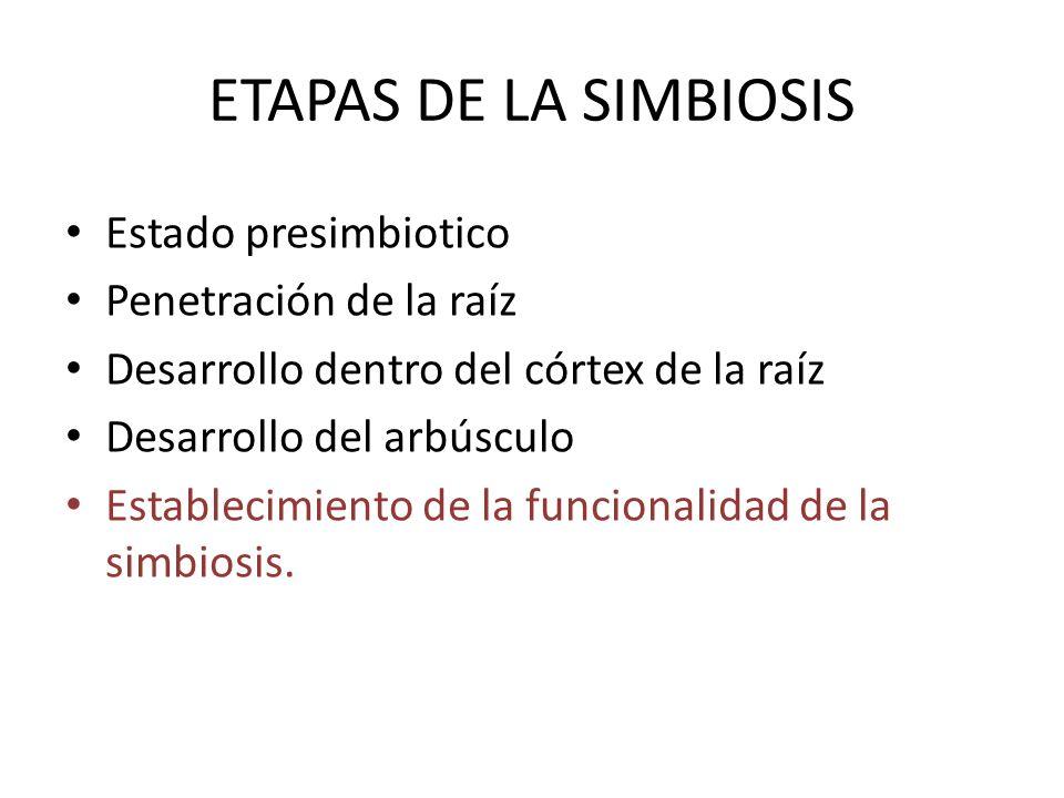 ETAPAS DE LA SIMBIOSIS Estado presimbiotico Penetración de la raíz