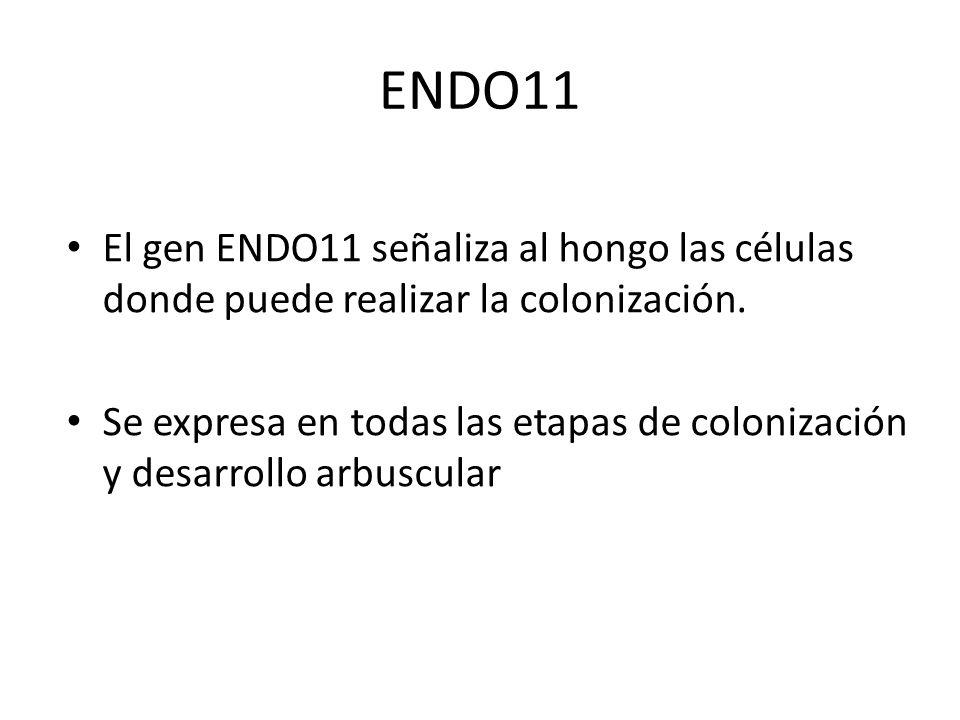 ENDO11El gen ENDO11 señaliza al hongo las células donde puede realizar la colonización.