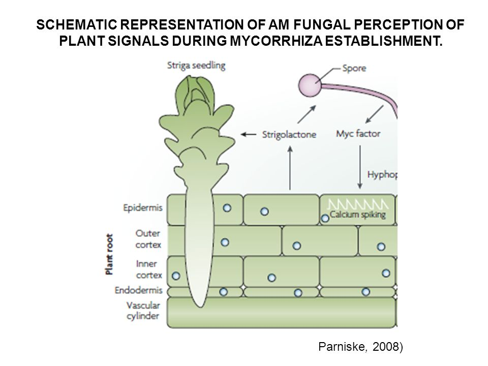 SCHEMATIC REPRESENTATION OF AM FUNGAL PERCEPTION OF PLANT SIGNALS DURING MYCORRHIZA ESTABLISHMENT.