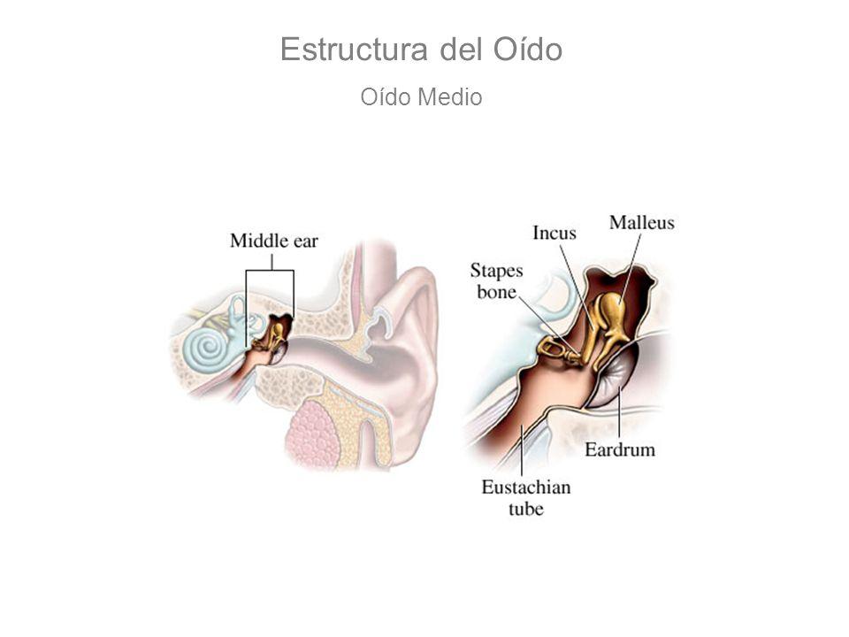 Estructura del Oído Oído Medio