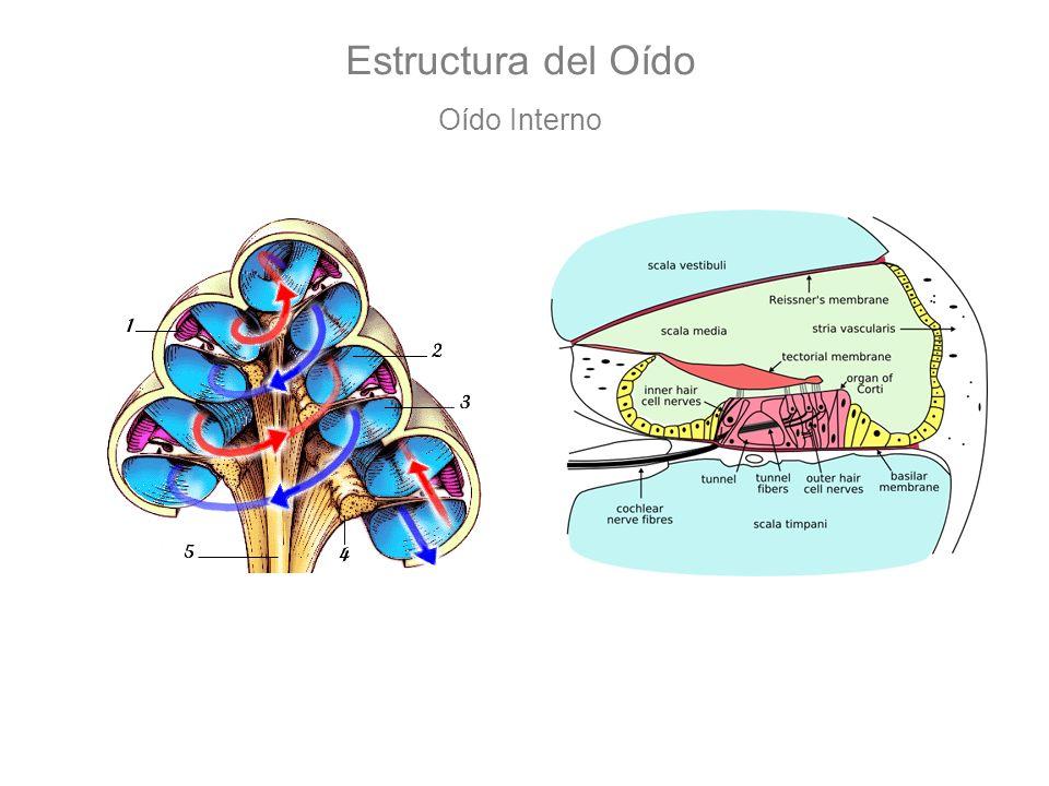 Estructura del Oído Oído Interno