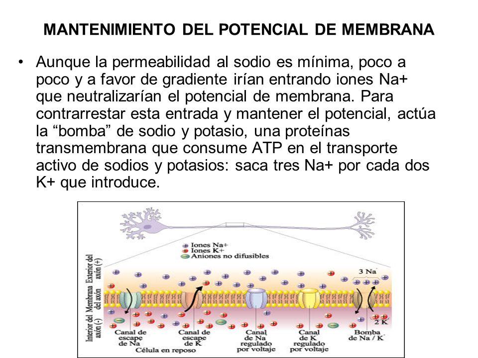 MANTENIMIENTO DEL POTENCIAL DE MEMBRANA