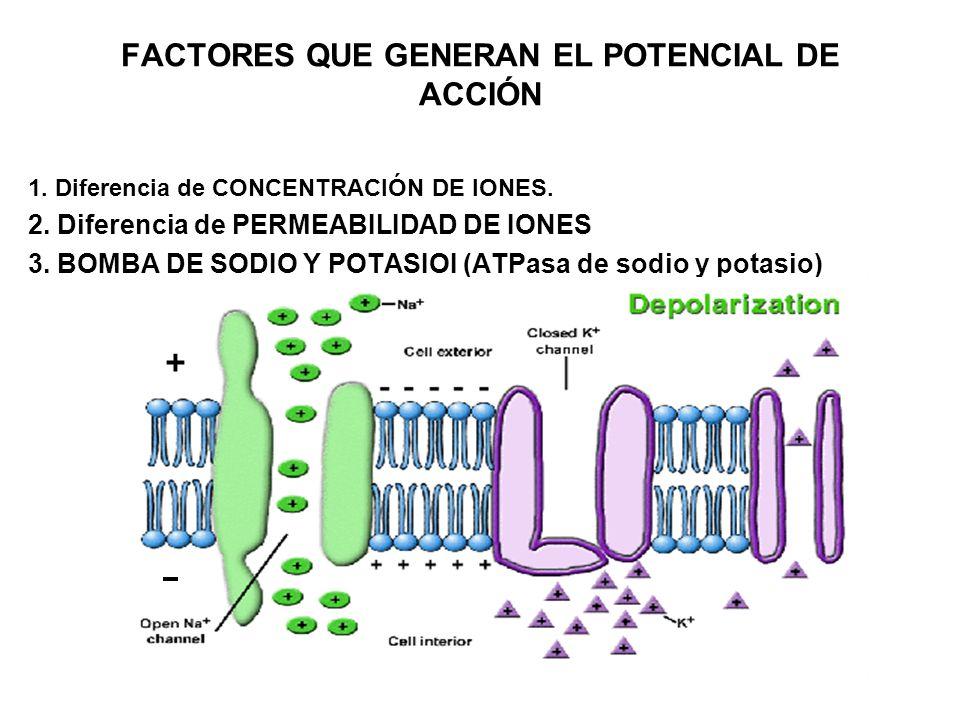 FACTORES QUE GENERAN EL POTENCIAL DE ACCIÓN