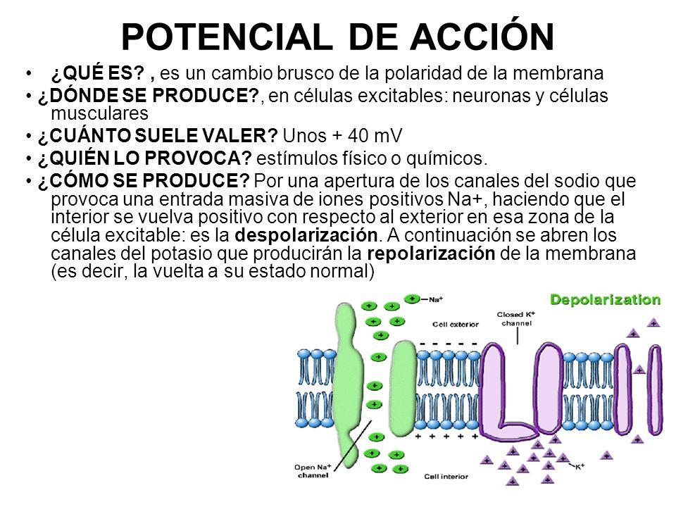 POTENCIAL DE ACCIÓN ¿QUÉ ES , es un cambio brusco de la polaridad de la membrana.