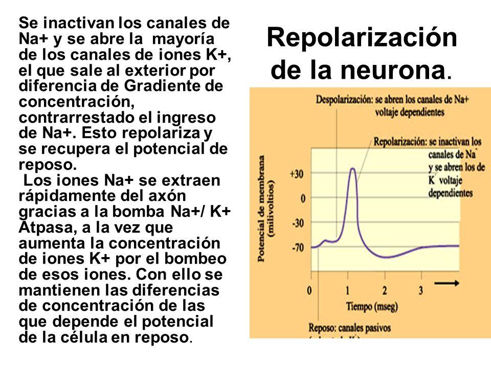 Repolarización de la neurona.