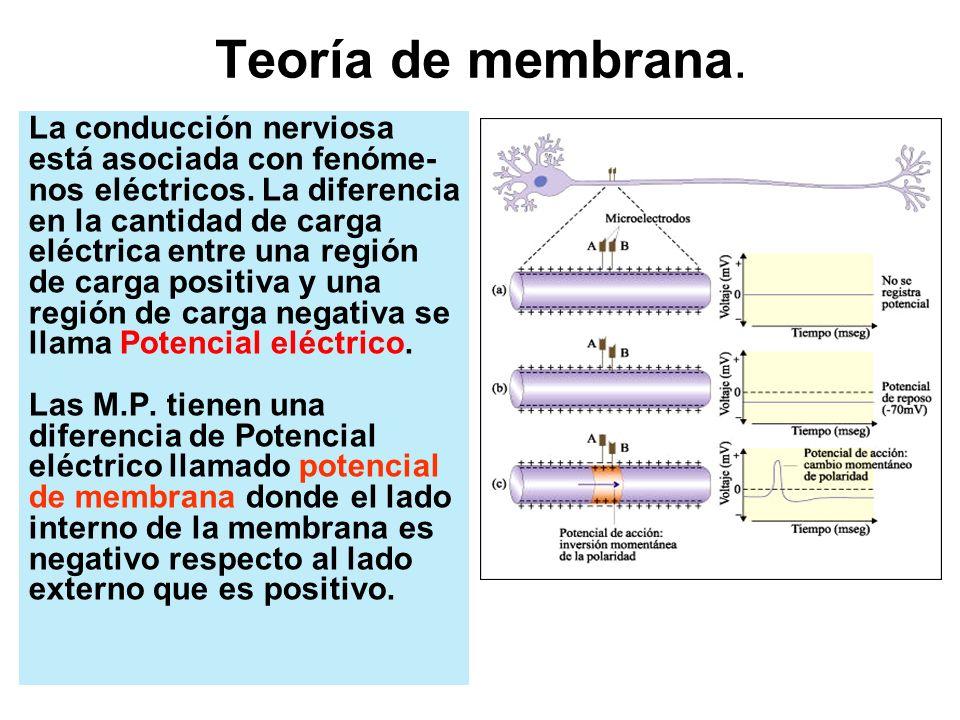 Teoría de membrana. La conducción nerviosa está asociada con fenóme-