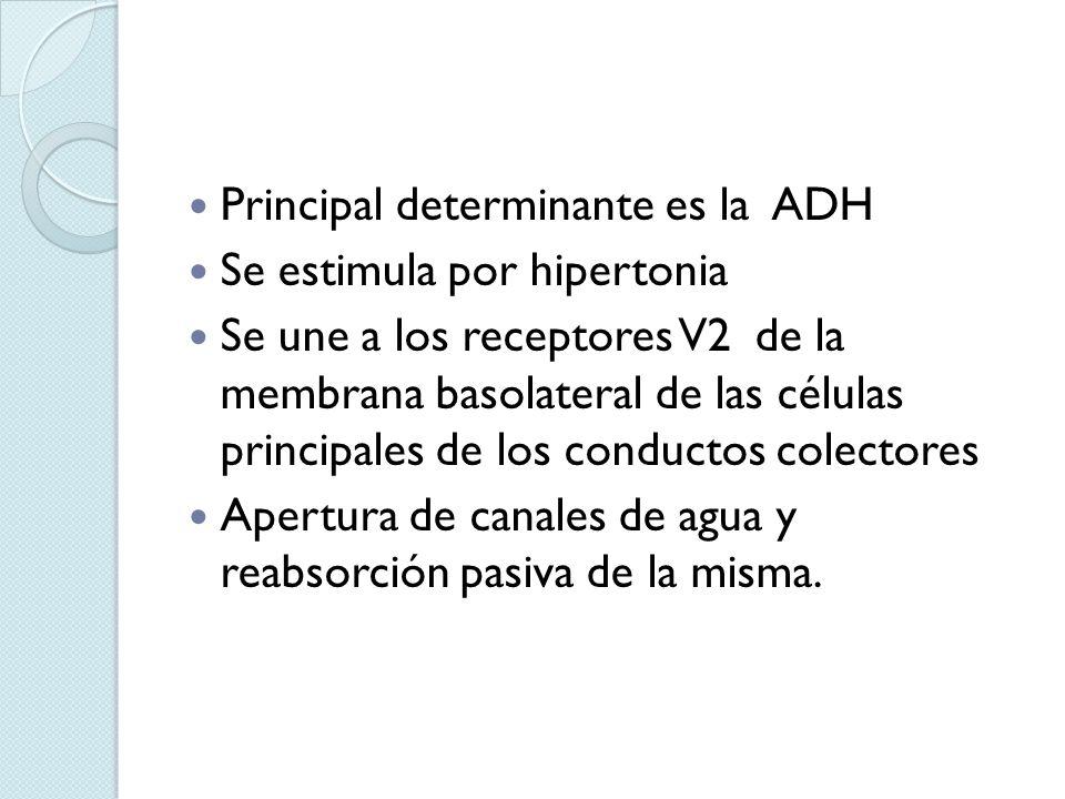 Principal determinante es la ADH