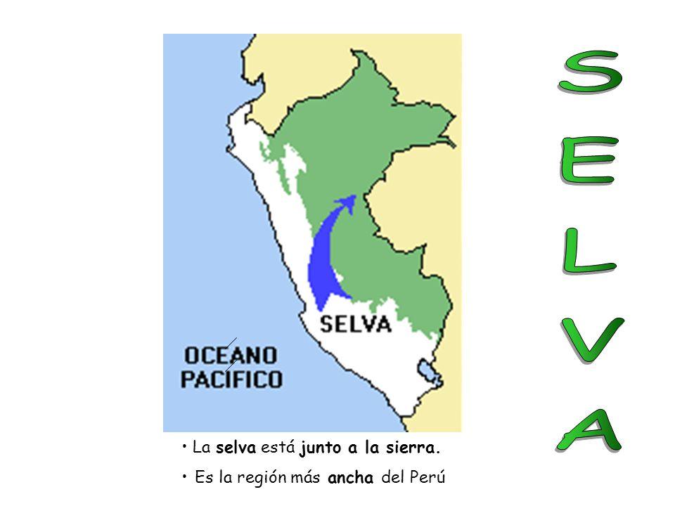 SELVA La selva está junto a la sierra. Es la región más ancha del Perú