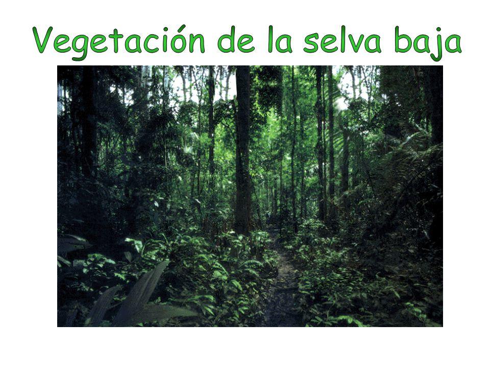 Vegetación de la selva baja