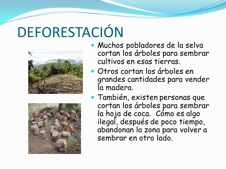 DEFORESTACIÓN Muchos pobladores de la selva cortan los árboles para sembrar cultivos en esas tierras.