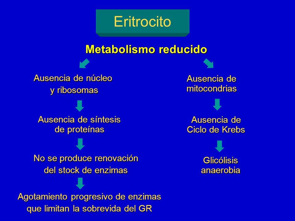 Eritrocito Metabolismo reducido Ausencia de núcleo