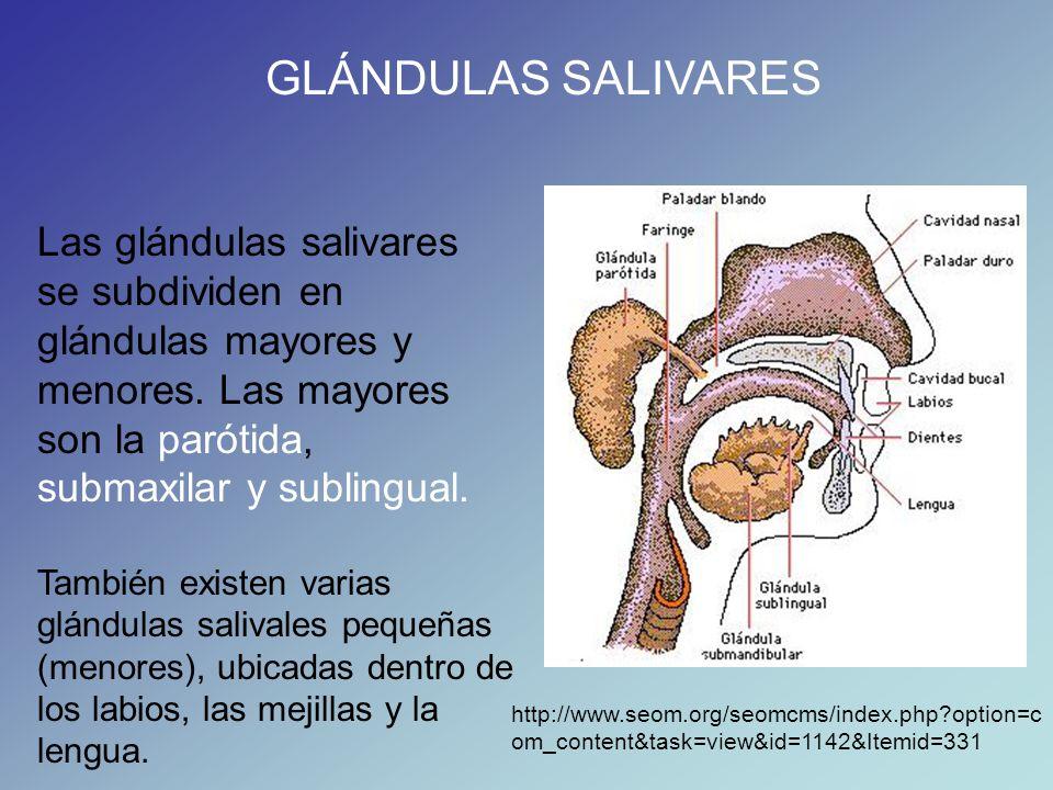 GLÁNDULAS SALIVARES Las glándulas salivares se subdividen en glándulas mayores y menores. Las mayores son la parótida, submaxilar y sublingual.