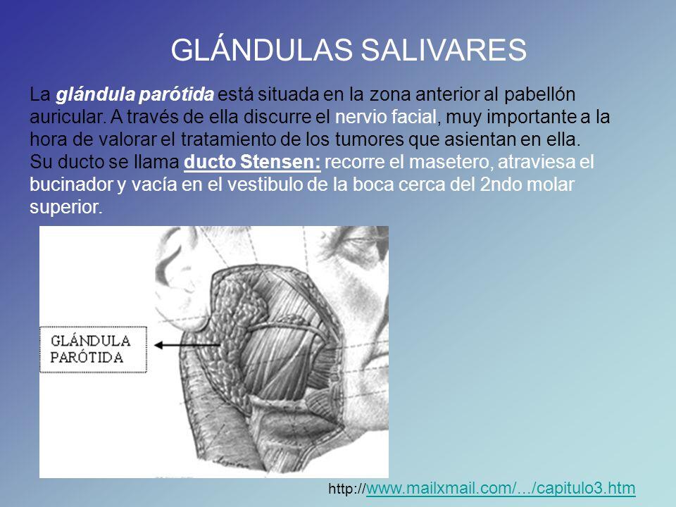 GLÁNDULAS SALIVARES