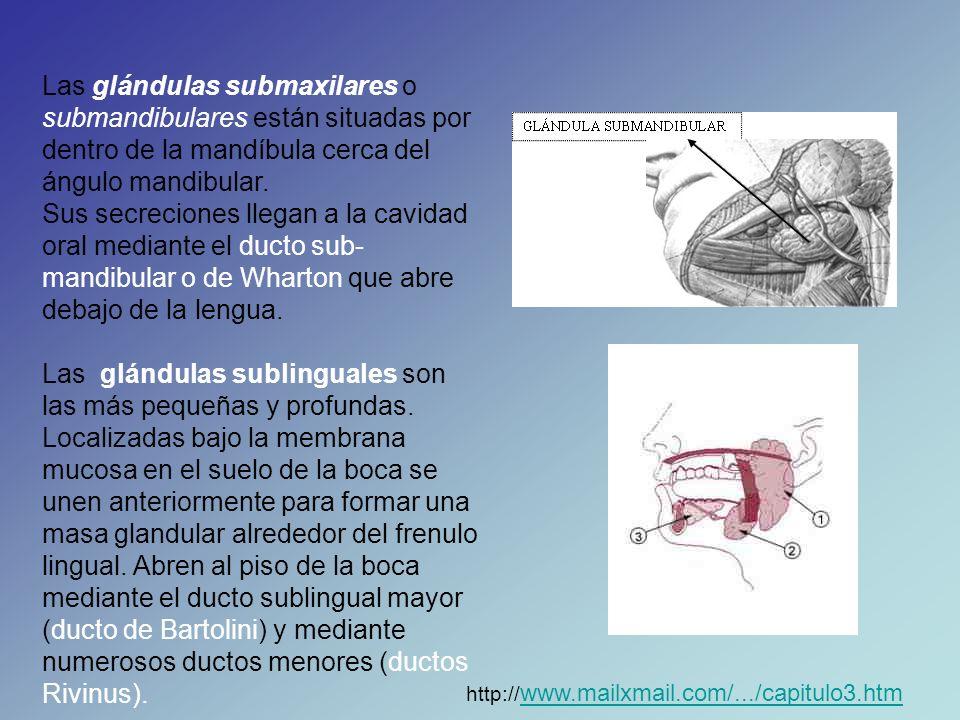 Las glándulas submaxilares o submandibulares están situadas por dentro de la mandíbula cerca del ángulo mandibular.