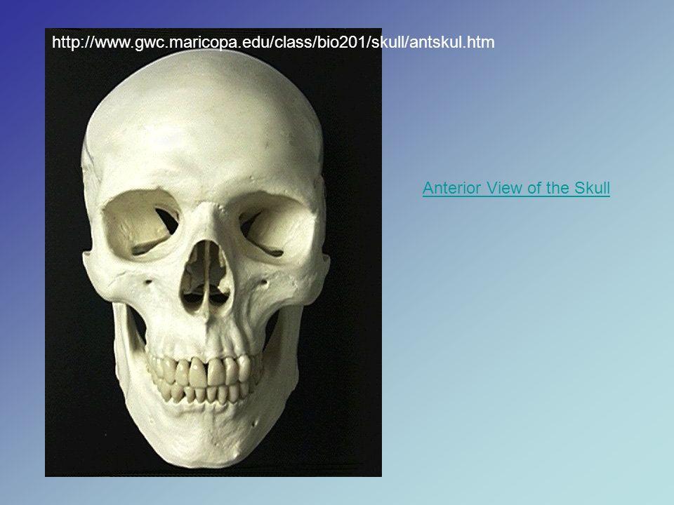 http://www.gwc.maricopa.edu/class/bio201/skull/antskul.htm Anterior View of the Skull