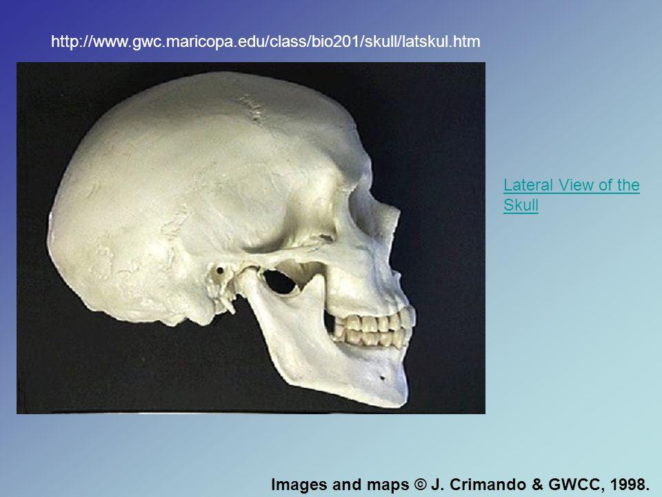 http://www.gwc.maricopa.edu/class/bio201/skull/latskul.htm Lateral View of the Skull.