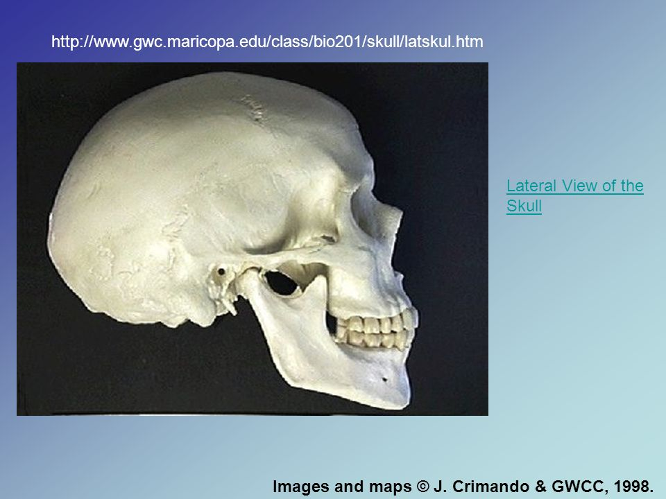 http://www.gwc.maricopa.edu/class/bio201/skull/latskul.htmLateral View of the Skull.
