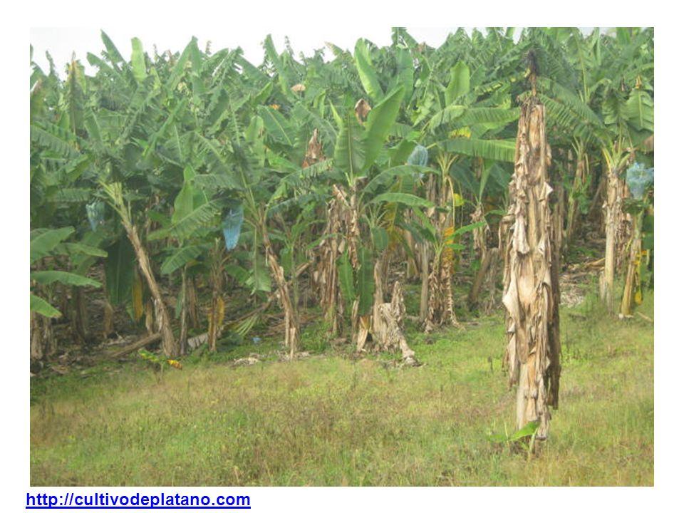 http://cultivodeplatano.com