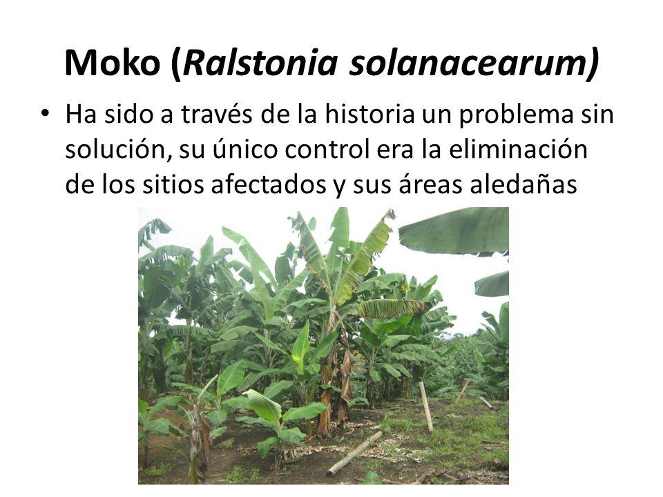 Moko (Ralstonia solanacearum)