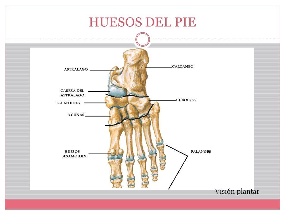MIEMBRO INFERIOR HUESOS Y ARTICULACIONES - ppt video online descargar