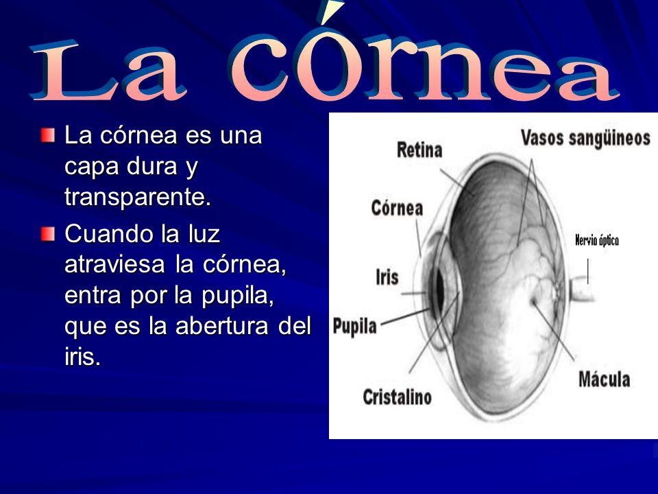 La córnea La córnea es una capa dura y transparente.