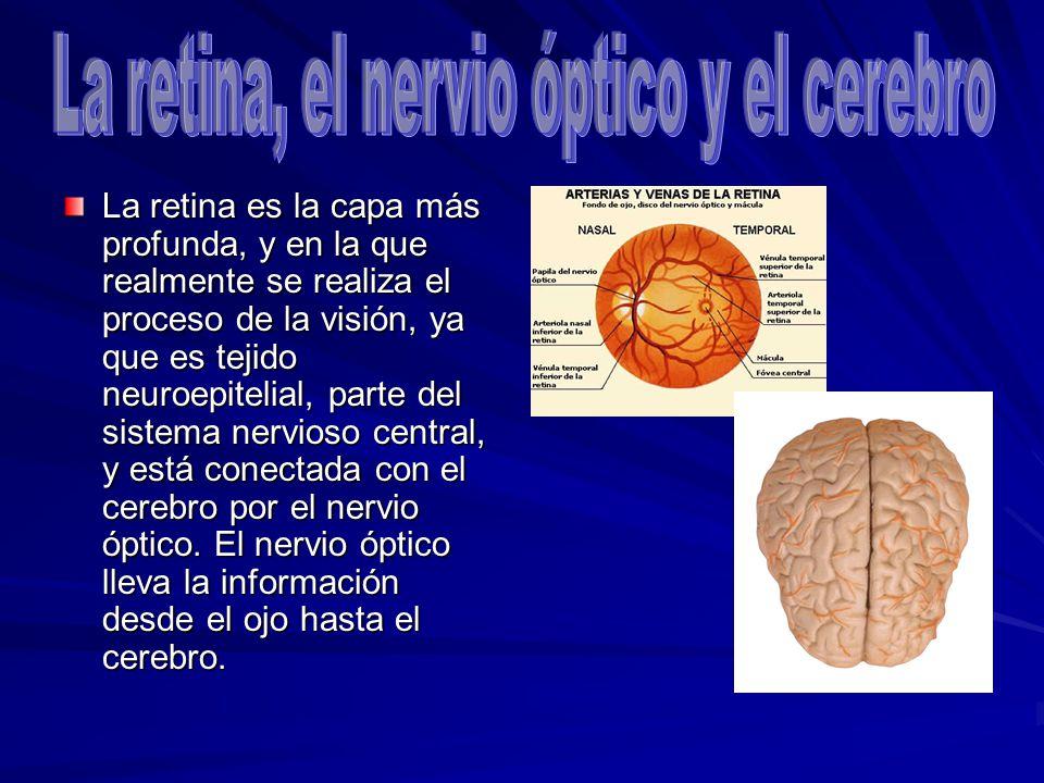 La retina, el nervio óptico y el cerebro