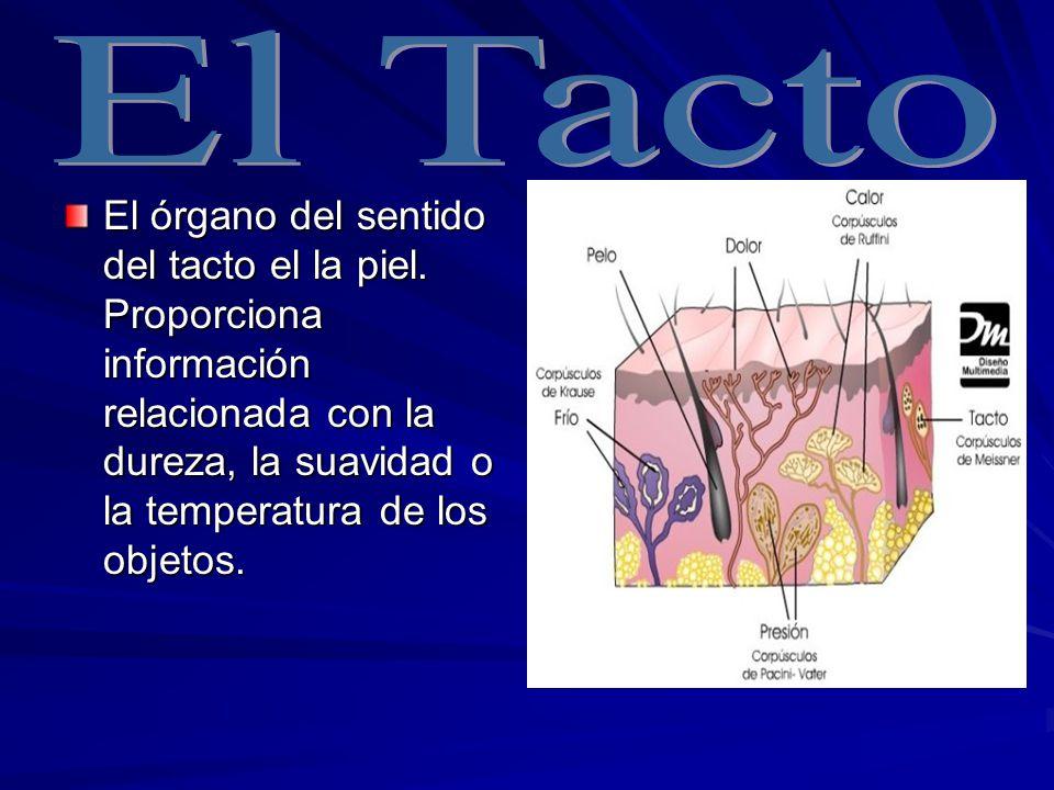 El Tacto El órgano del sentido del tacto el la piel.