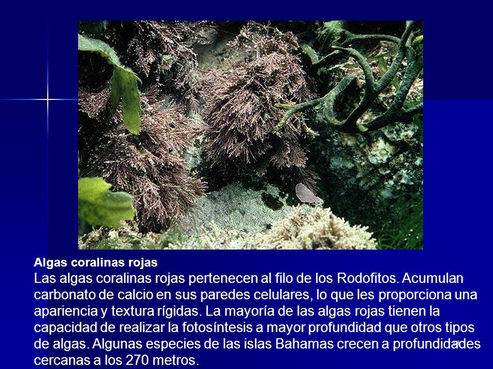 Algas coralinas rojas