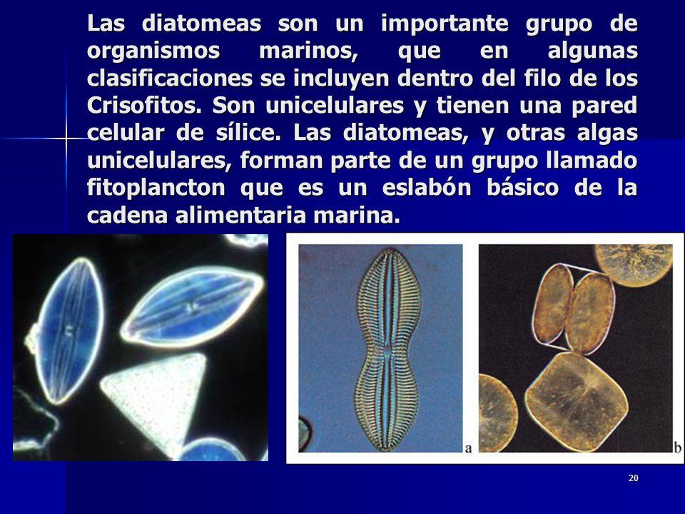Las diatomeas son un importante grupo de organismos marinos, que en algunas clasificaciones se incluyen dentro del filo de los Crisofitos.