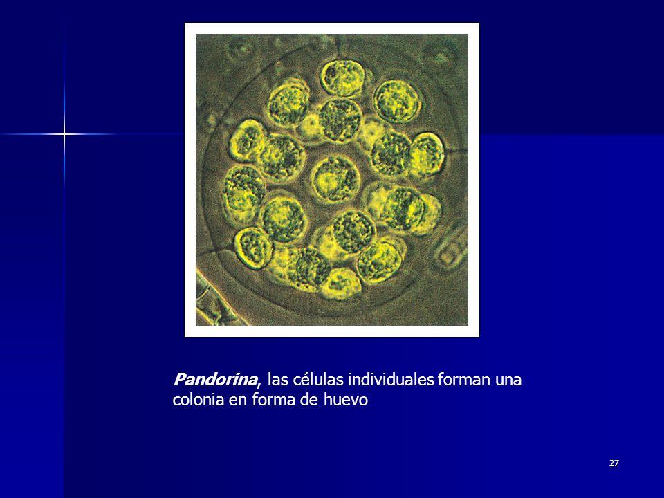 Pandorina, las células individuales forman una colonia en forma de huevo