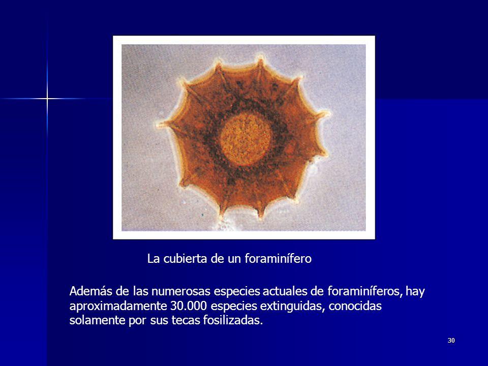 La cubierta de un foraminífero