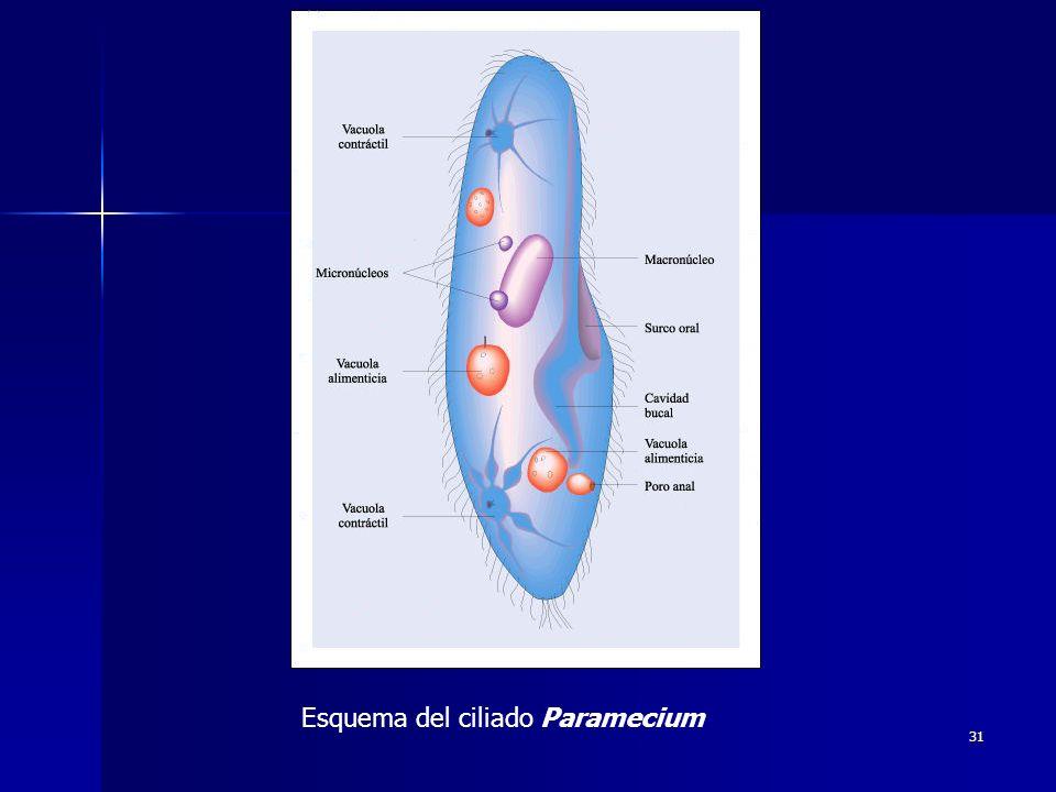 Esquema del ciliado Paramecium