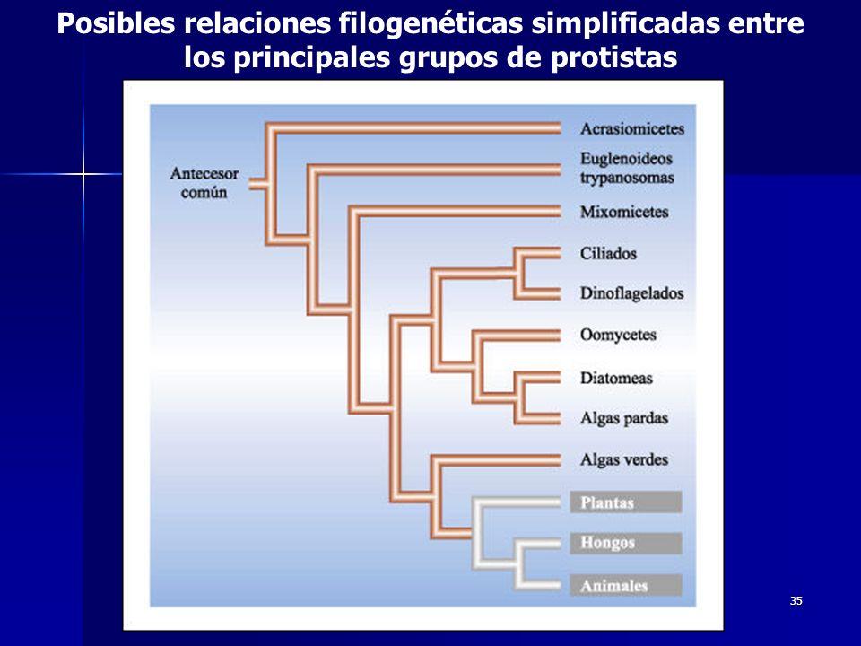 Posibles relaciones filogenéticas simplificadas entre los principales grupos de protistas