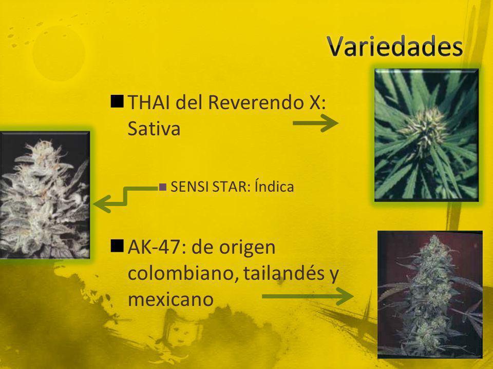Variedades THAI del Reverendo X: Sativa