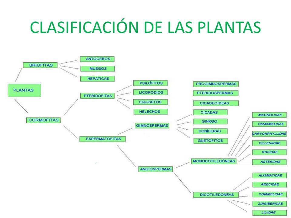 El reino de las plantas ppt video online descargar for Clasificacion de las plantas ornamentales