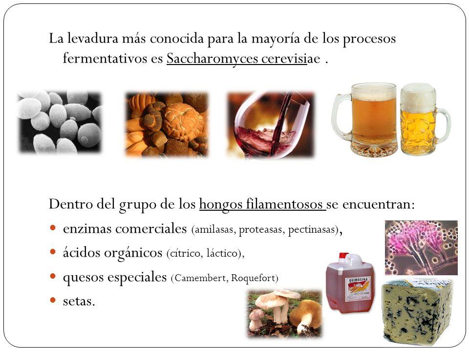 La levadura más conocida para la mayoría de los procesos fermentativos es Saccharomyces cerevisiae .