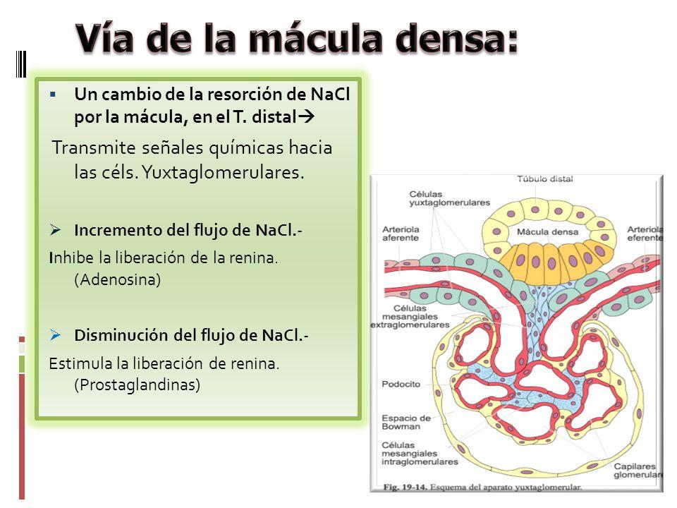 Vía de la mácula densa: Un cambio de la resorción de NaCl por la mácula, en el T. distal