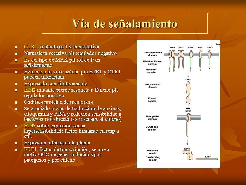 Vía de señalamiento CTR1. mutante es TR constitutiva