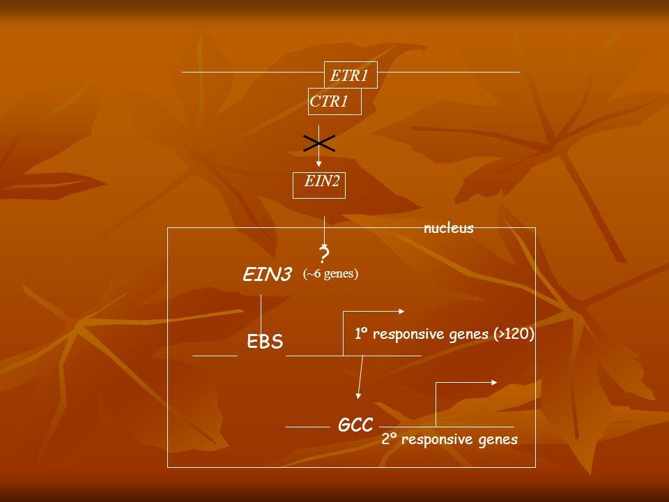 EIN3 EBS GCC ETR1 CTR1 EIN2 nucleus 1º responsive genes (>120)