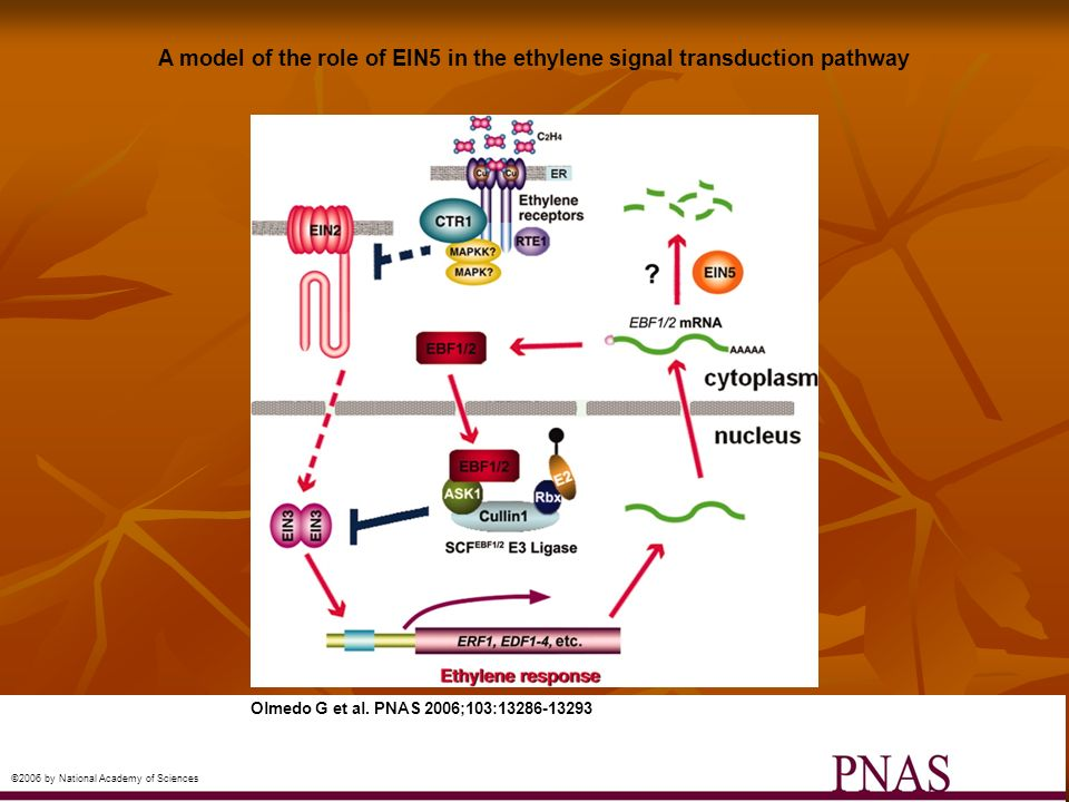 A model of the role of EIN5 in the ethylene signal transduction pathway