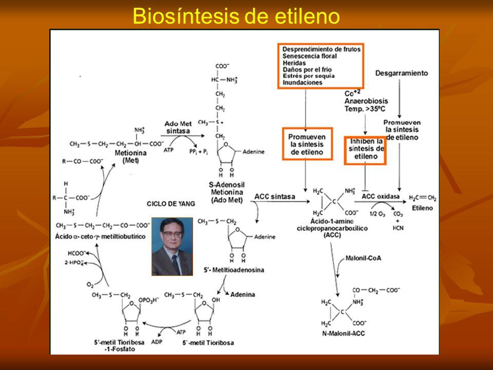 Biosíntesis de etileno