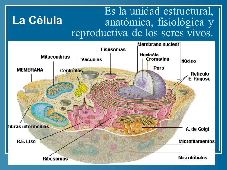 La Célula Es la unidad estructural, anatómica, fisiológica y reproductiva de los seres vivos.
