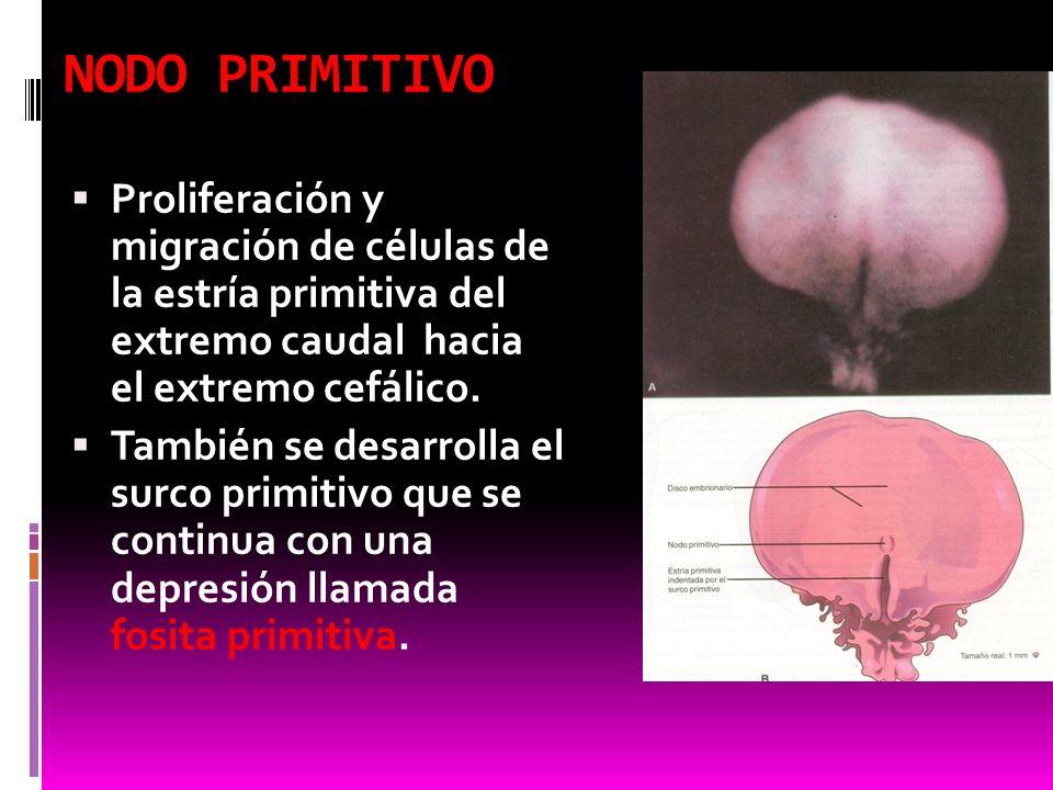 NODO PRIMITIVO Proliferación y migración de células de la estría primitiva del extremo caudal hacia el extremo cefálico.