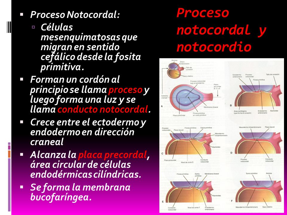 Proceso notocordal y notocordio