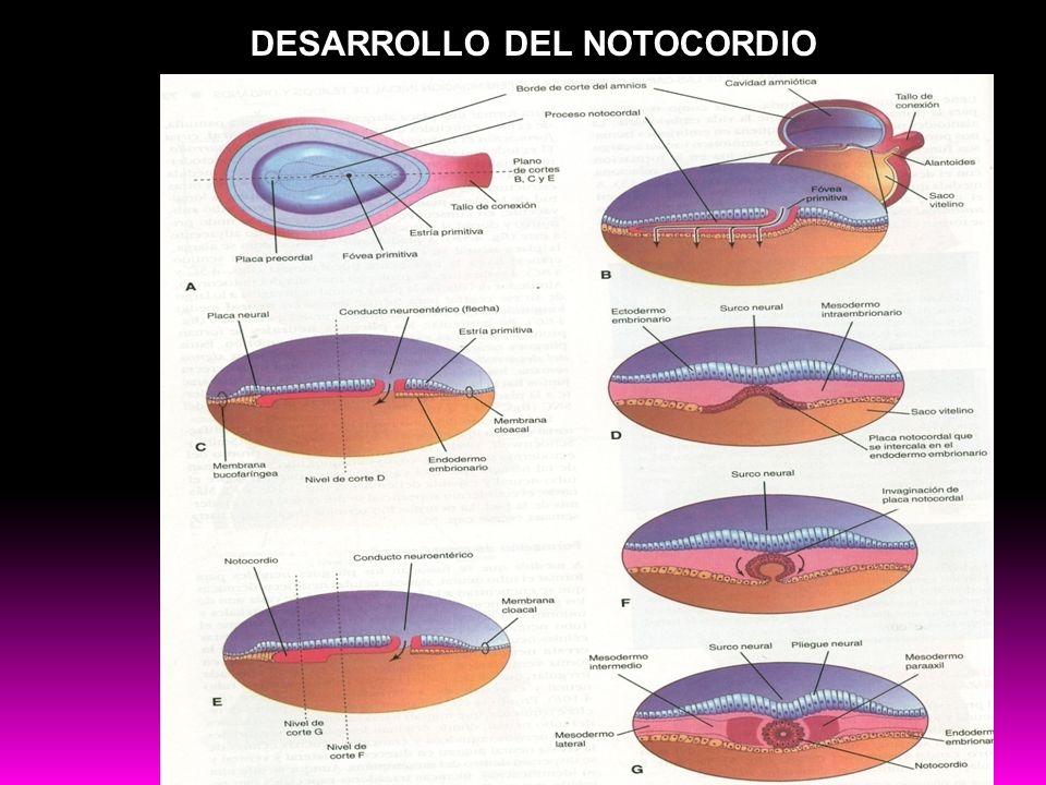 DESARROLLO DEL NOTOCORDIO