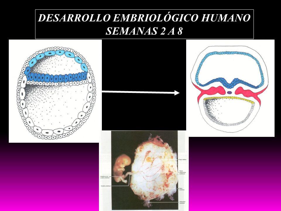 DESARROLLO EMBRIOLÓGICO HUMANO