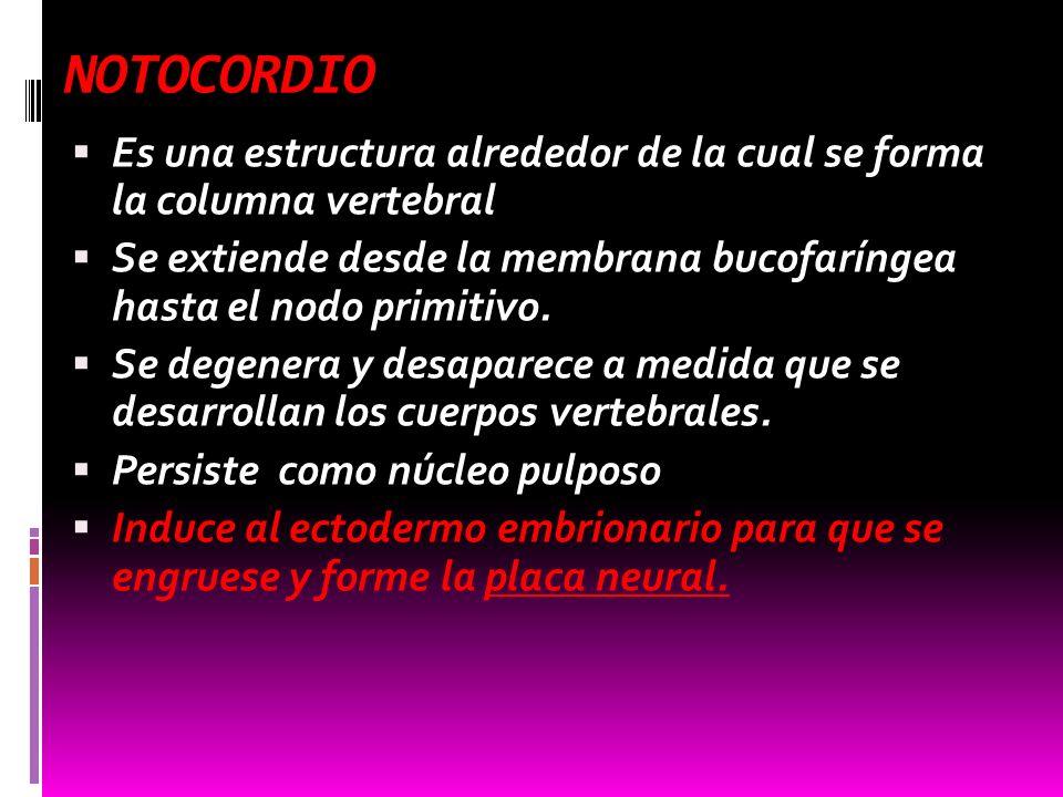 NOTOCORDIO Es una estructura alrededor de la cual se forma la columna vertebral.